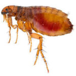 Image of a flea in Cape Town