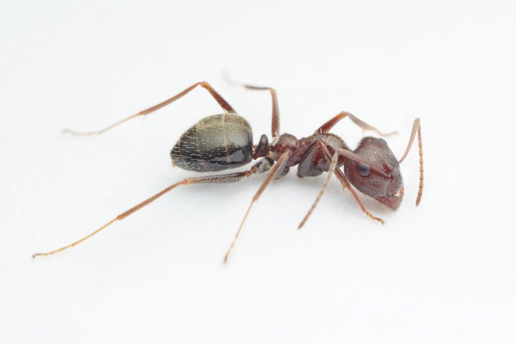 Image of ant pest control in Cape Town