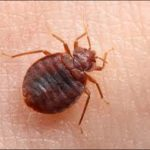 Bed bug pest control service in Cape Town