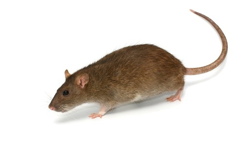 Image of rat pest control in Cape Town