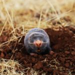 Mole pest control in cape town